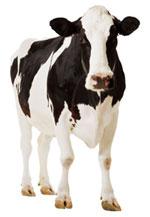Las vacas producirán leche materna