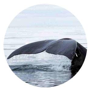 Adn de ballena